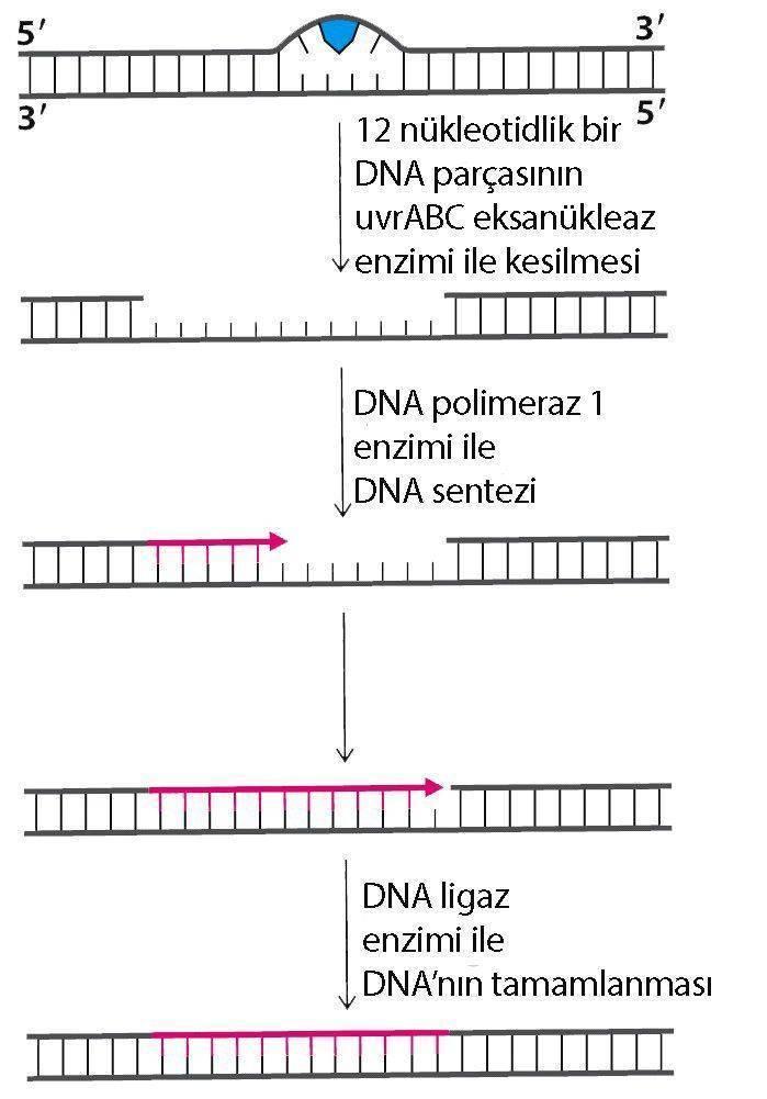 Aziz Sancar Nobel Ödülü DNA onarım nükleotid eksizyon tamir sistemi mekanizması