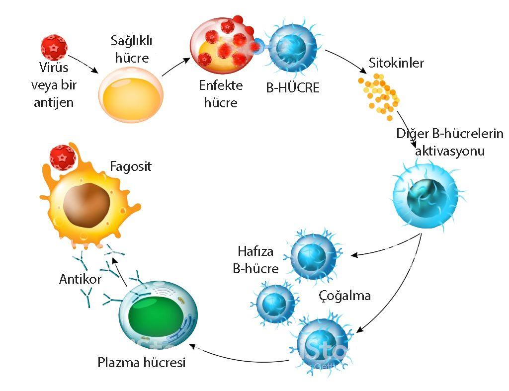 B hücre lenfosit aktivasyonu antikor üretimi nasıl olur