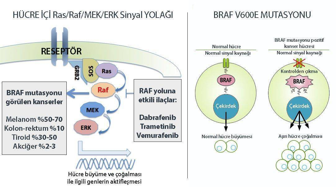 BRAF mutasyonu pozitif kanserler melanom kolon tiroid akciğer kanseri