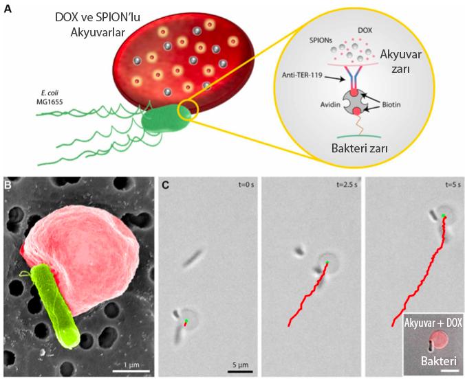 Bakteri flagellaları hareket için gerekli enerjiyi sağlarken manyetik yönlendirme mikrorobotlar