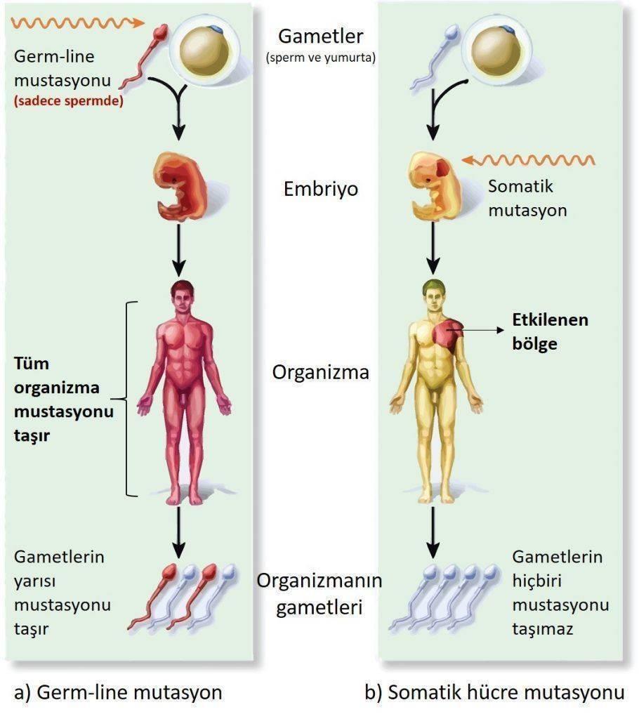 DNA hasarı kalıtsal kanserler germ line mutasyon sporadik kanserler somatik mutasyon 910x1024