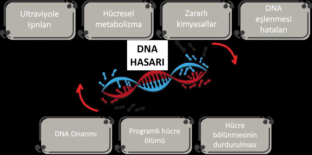 DNA hasari ve kanser DNA nasil onarilir 1024x509