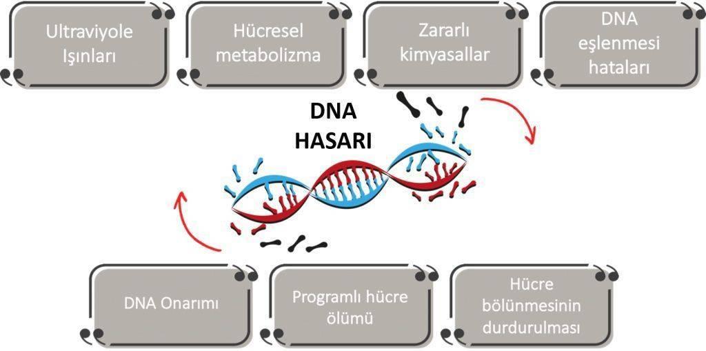 DNA hasari ve kanser DNA nasil onarilir