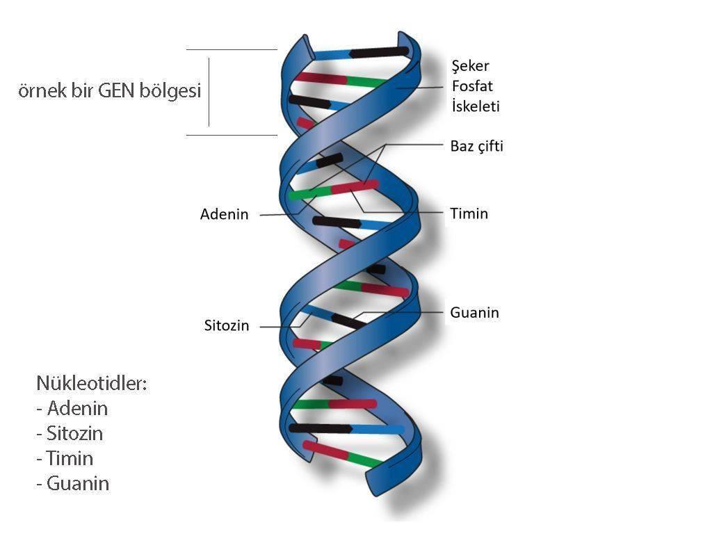 DNA nedir cift sarmal baz ciftleri adenin sitozin guanin timin nukleotidleri