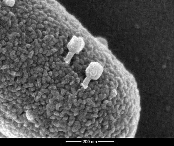 E coli bakterisini infekte eden T4 bakterifajları
