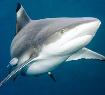 Efsaneye bir son verildi: Köpek balığı kıkırdağı kanser tedavisinde etkili değil!