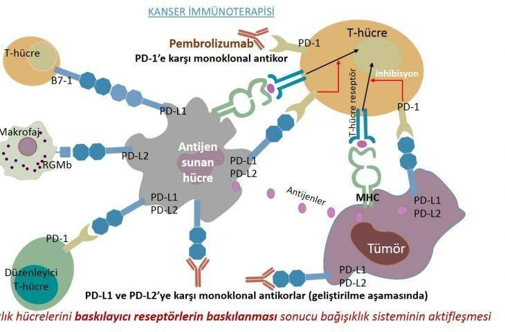 İmmün kontrol noktası inhibitörü pembrolizumab (Keytruda) 13 kanser türünde etkili