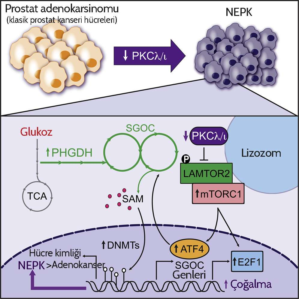 Increased Serine and One Carbon Pathway Metabolism by PKCλ ι Deficiency Promotes Neuroendocrine P