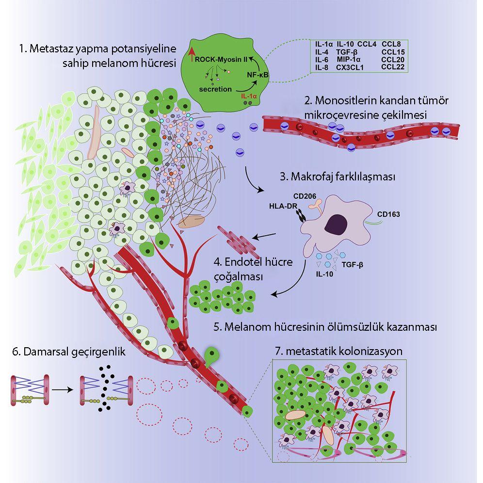 Kanser Hücrelerindeki Myosin 2 Bölgesel Aktivasyonu İmmün Mikroçevreyle Çapraz etkileşim ile