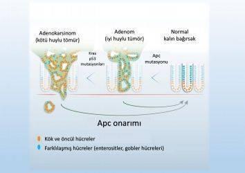 Kanserleşme geri döndürülebilir mi? Hasarlı gen onarımı!
