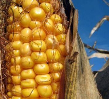 Karaciğer kanserinde aflatoksin etkisi