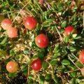 Kırmızı yaban mersini Cranberry kanser tedavisinde kullanılabilir mi?