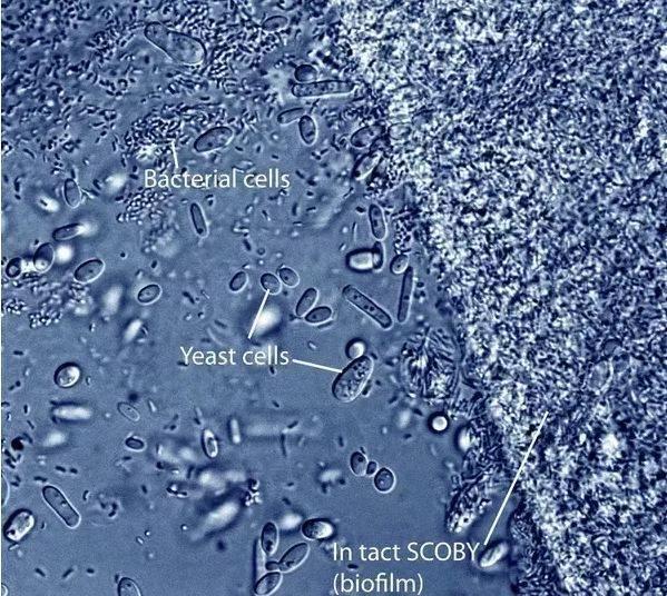 Kombu çayı yarı geçirgen zarında Gluconacetobacter bakteri ve yeast mantar hücrelerinin optik