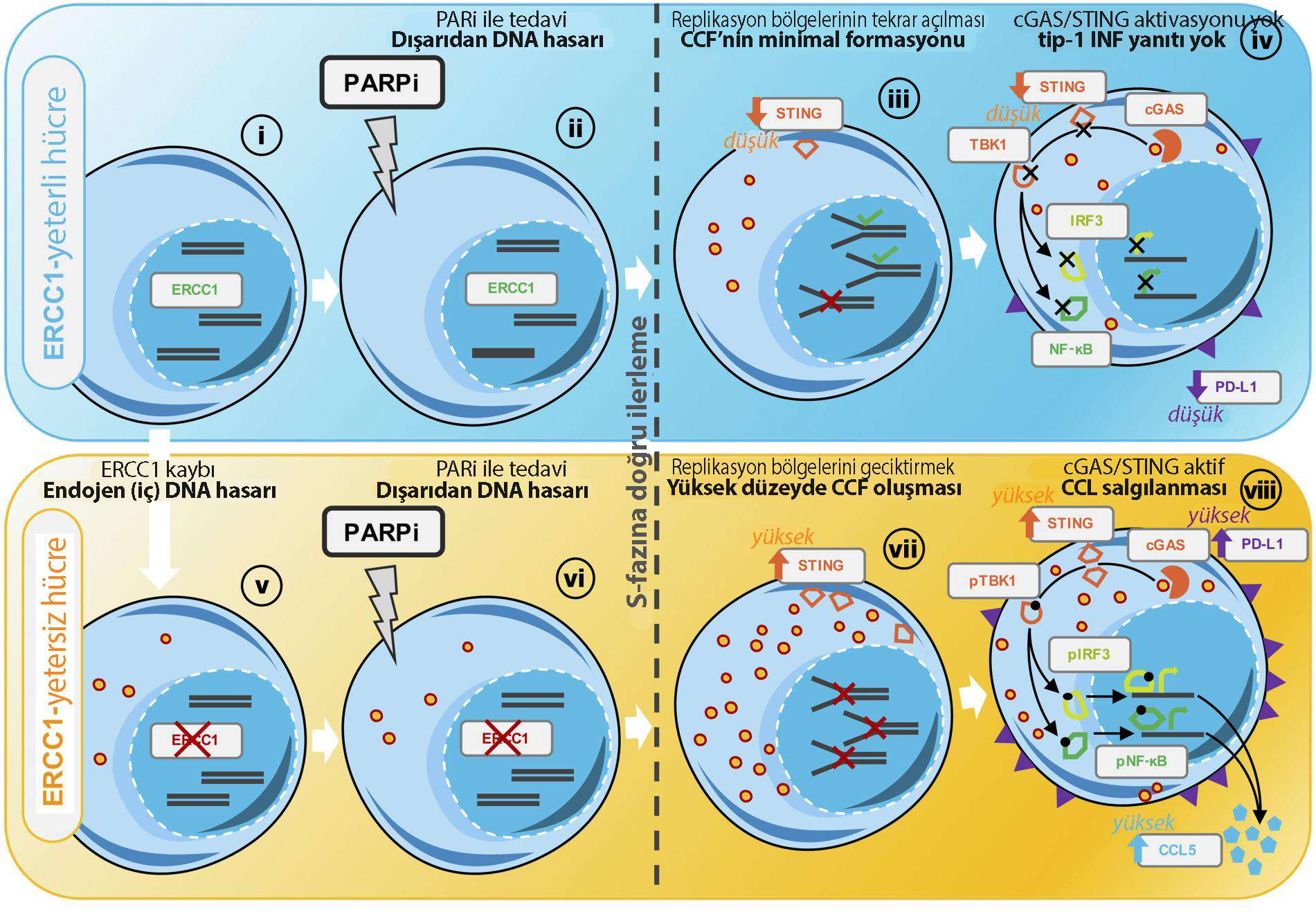 Model of ERCC1 defect dependent activation of cGAS STING following PARPi exposure