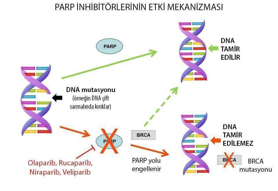 PARP inhibitörleri etki mekanizmasi over kanseri tedavisi brca mutasyonu olaparib