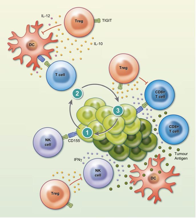 TIGIT mekanizma kanser immünoterapisinde yeni bir immün kontrol noktası hedefi