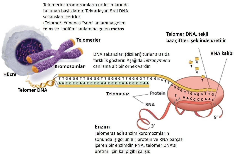 Telomeraz etki mekanizması