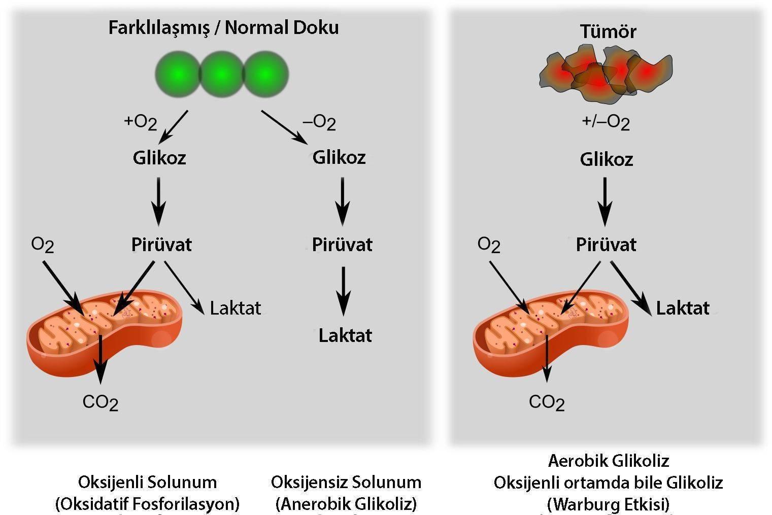 Warburg etkisi kanser oksijensiz ortam glikoliz alkali tedavi