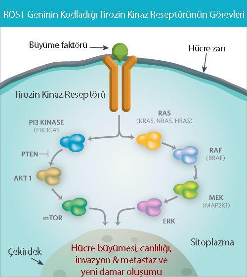 akciğer kanseri ros1 nedir füzyonu translokasyonu pozitif mekanizma