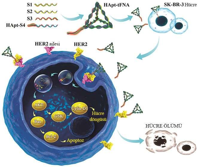 akıllı dna nanorobotları HER2 reseptörüne bağlanıp meme kanseri hücresini yok ediyor