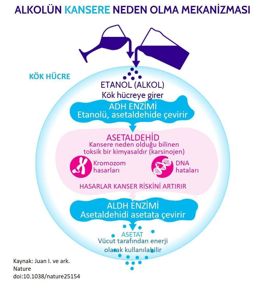alkon nasıl kansere neden olur riski etki mekanizması
