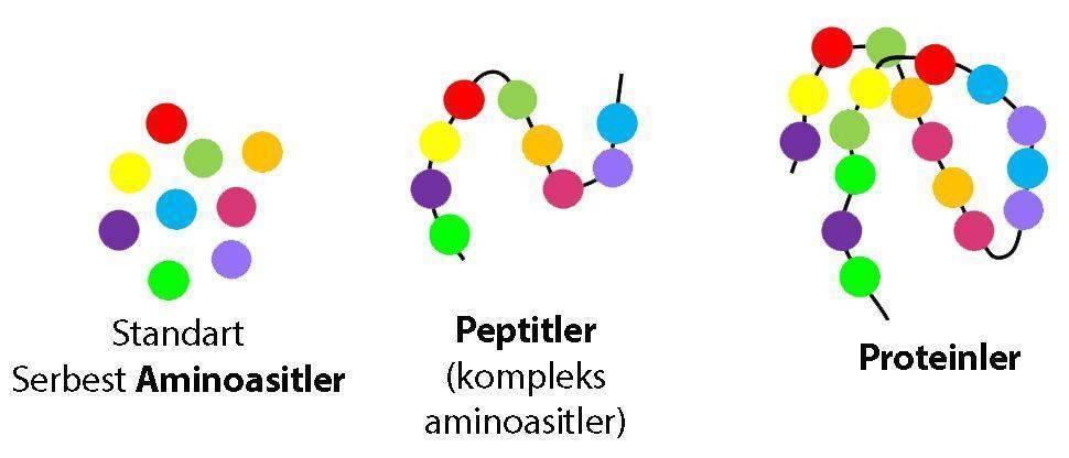 aminoasit peptit protein