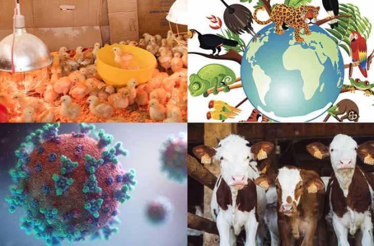 Aşırı hayvan çiftçiliği, salgın hastalıklar için mükemmel bir fırtına mı yaratıyor?