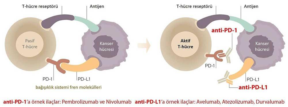 avelumab bavencio immun kontrol noktasi duzenleyicileri inhibitorleri pembrolizumab keytruda nivolu