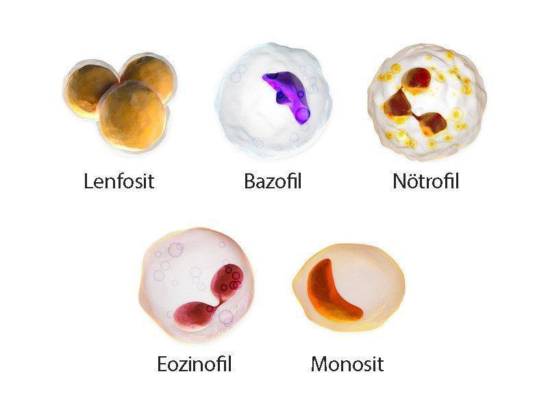 beş çeşit beyaz kan hücresi lökosit türleri çeşitleri