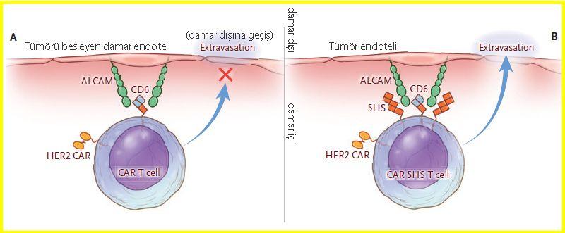 car t hücresinin ekstravazasyonu Honing a Homing System