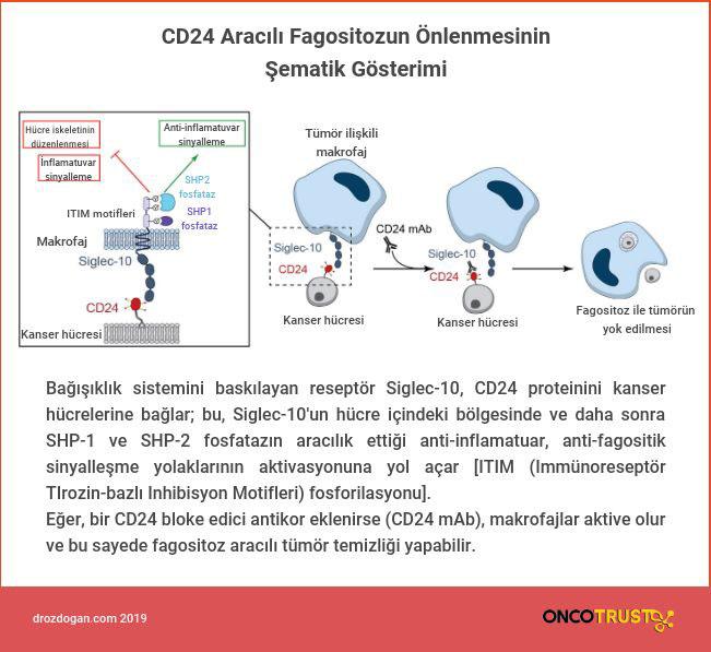 cd24 aracili fagositozun onlenmesinin sematik gosterimi