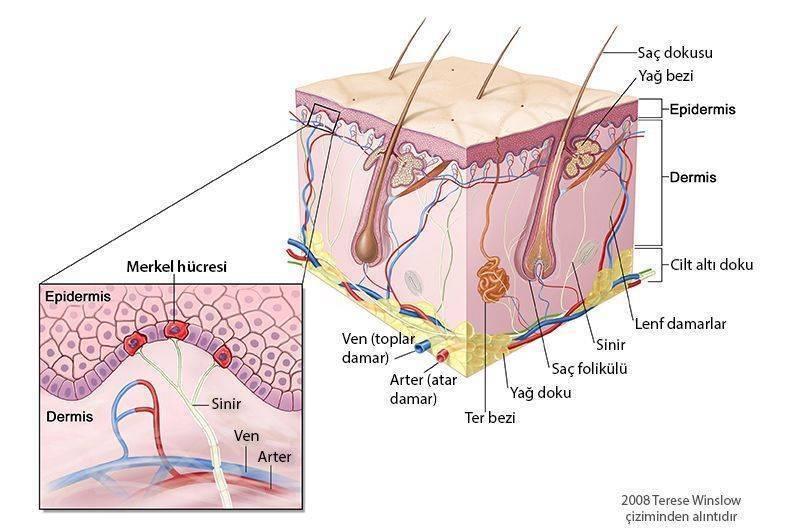 cildin derinin merkel hucreleri histoloji