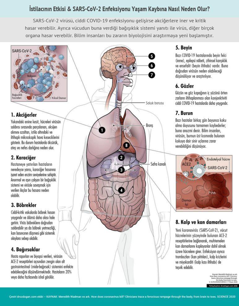 covid 19 hastaliginda etkilenen organlar ve hasarin mekanizmasi