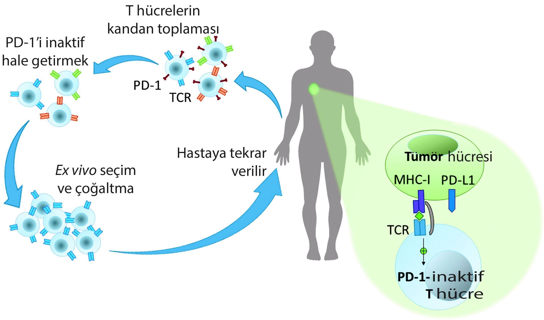 crispr cas9 ve t hücre tedavisi kanserde gelişmeler immünoterapi