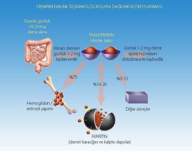 demir transferrin ferritin hemoglobin demirin emilimi mekanizması