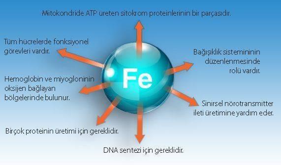 demirin insan fizyolojisinde biyolojik görevleri fonksiyonları