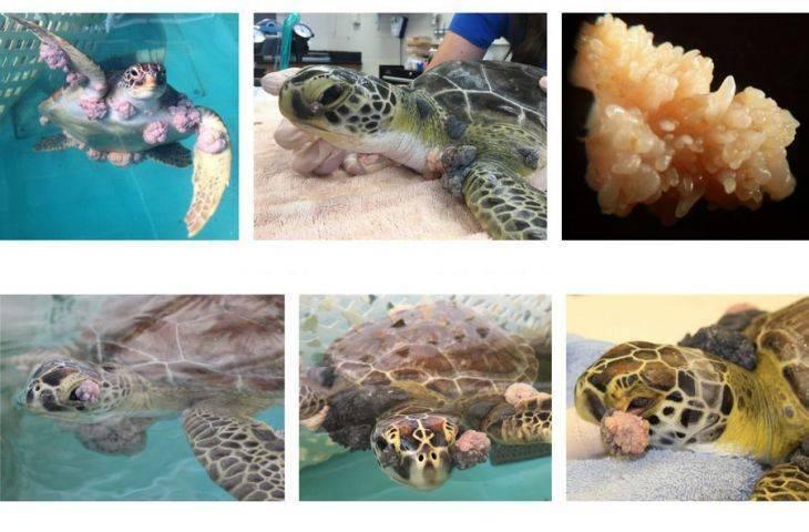 İnsan kanserlerinden alınan derslerle, deniz kaplumbağalarının kanseri tedavi edildi