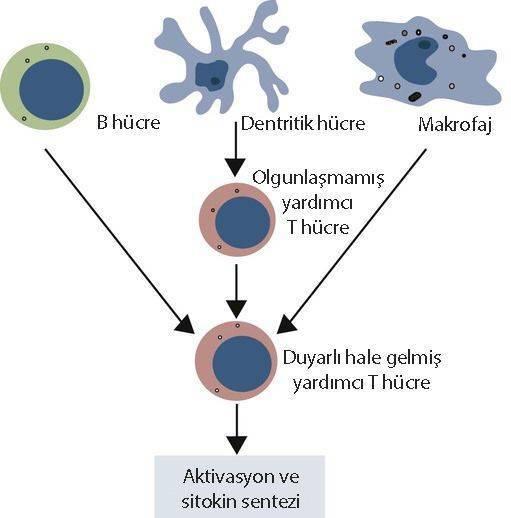 dentritik hücre nasıl etki eder