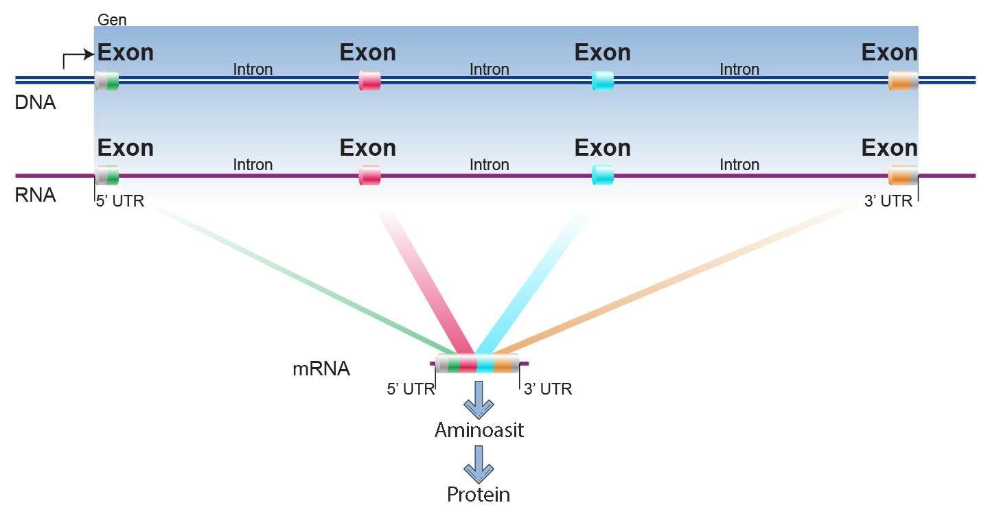 ekzon ve intron farkları
