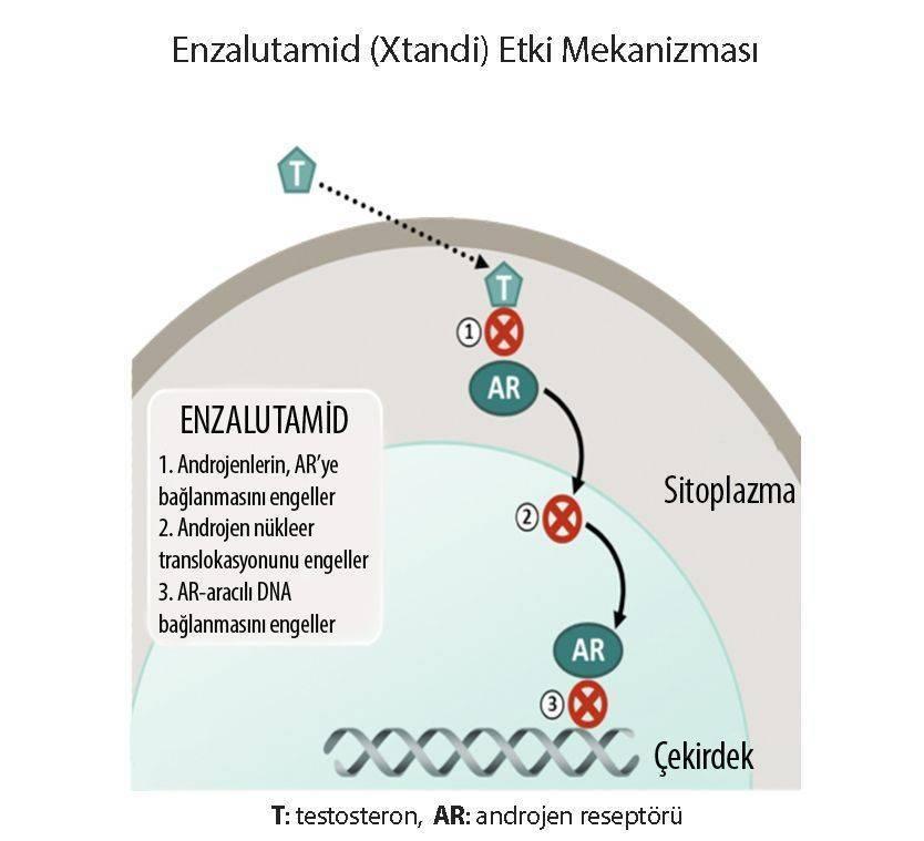 enzalutamid xtandi etki mekanizması yeni prostat kanseri tedavisi