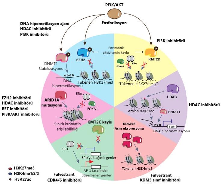 ER+ meme kanserinde duzensiz epigenetik yollar