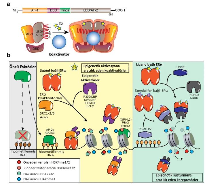 ERα nin aracilik ettigi epigenetik degisiklikler
