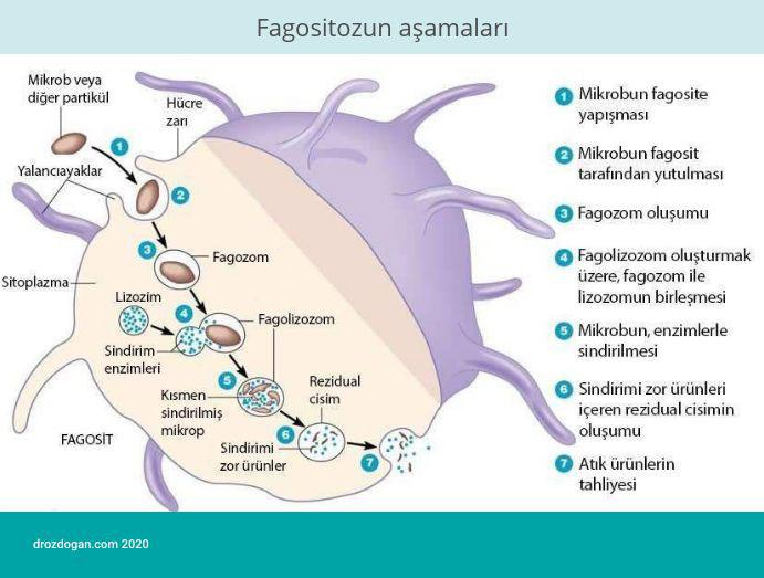 fagositozun asamalari