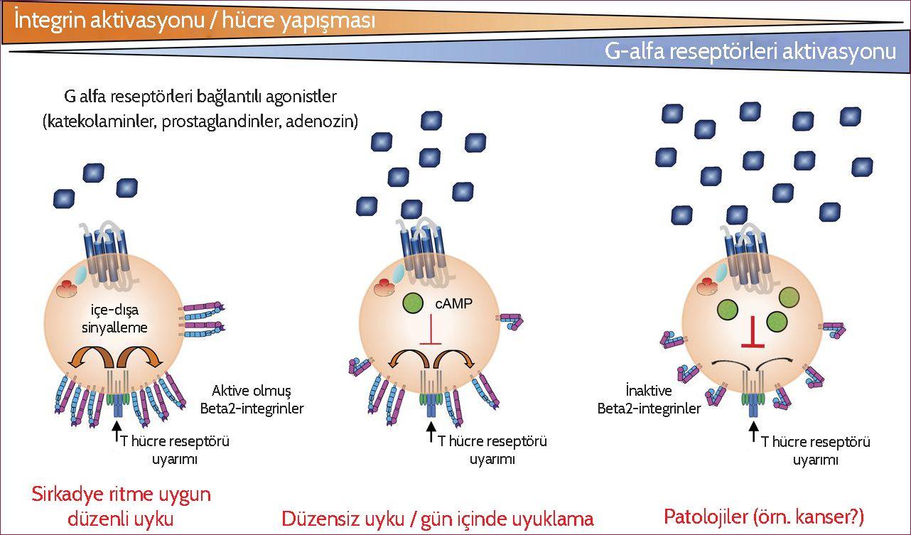 g reseptör yolağı üzerinden t hücreleri aktive etmek düzenli uykunun önemi sirkadyen ritim