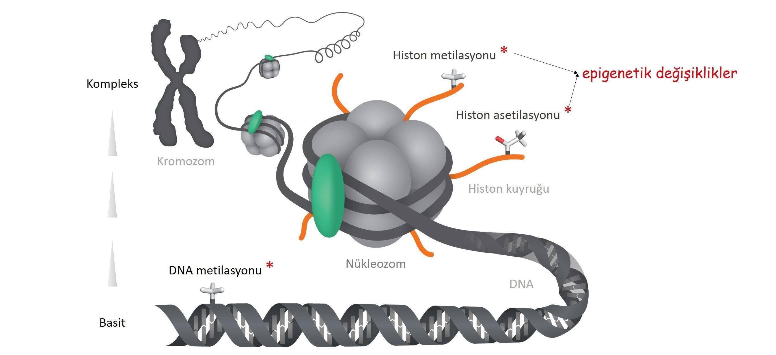 gen epigenetik dna