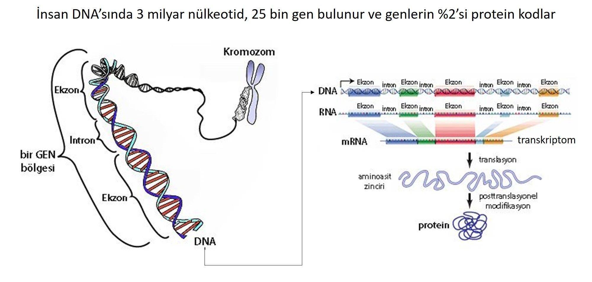 gen nedir insanda ne kadar gen bulunur kromozom dna