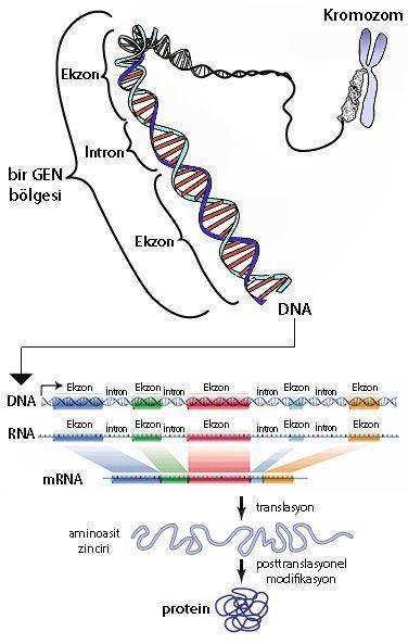genom ekzom kromozom gen ekzo intron dna rna mrna aminoasit protein