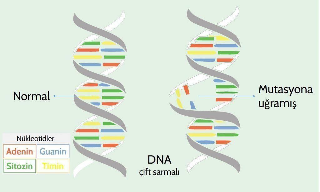 genom gentik bilgi DNA mutasyon nükleotid pürinler pirimidinler guanin adenozon timin sitozin 102