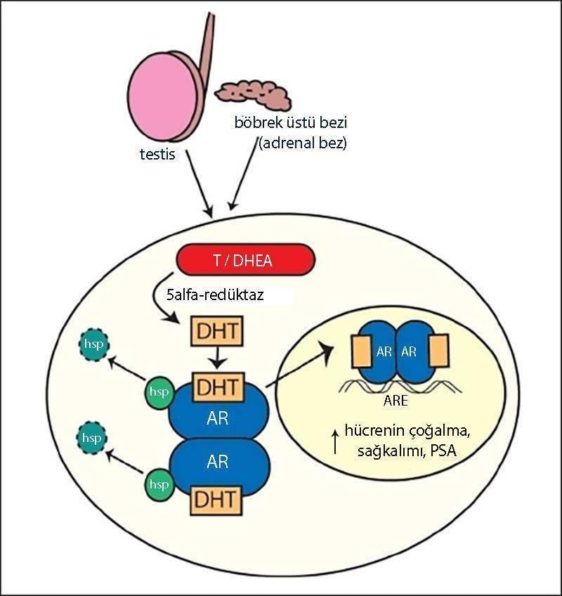 hormona dirençli prostat kanseri patogenezi androjen reseptörü
