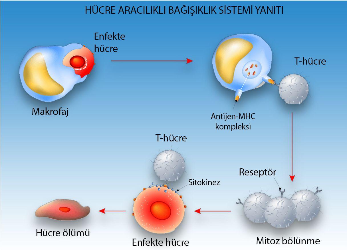 hücre aracılıklı immün yanıt mitoz bölünme